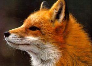 Costuming In Seattle-Fox Hunt